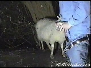 Man wants to fuck the sheep in the ass and pussy
