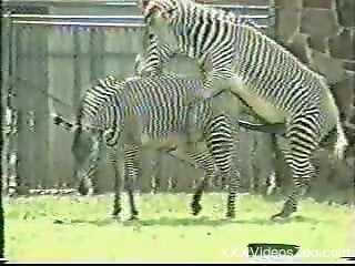Zebras fucking at the zoo makes horny dude wants cock