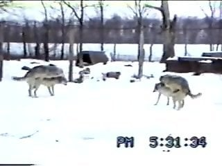 Voyeur video showing wolves fucking each other